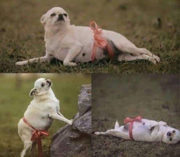 собака с бантом на животе