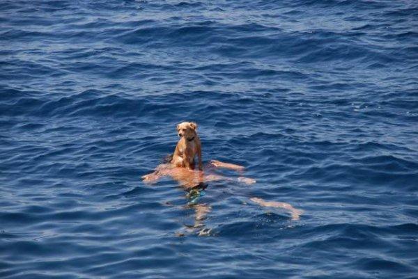собака сидит на спине плывущего человека