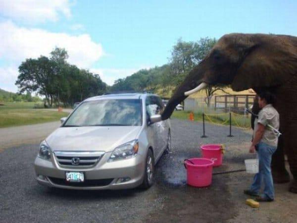 слон моет машину