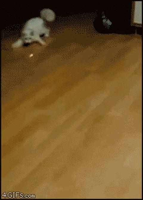 белый кот гонится за лазером