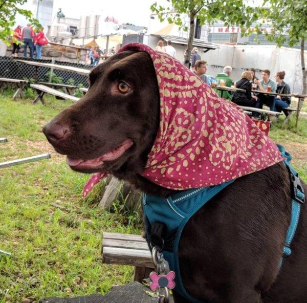 собака в красном платке