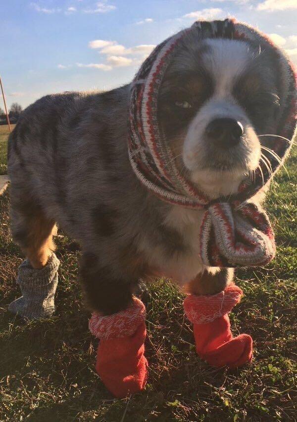 собака в носках и шапке