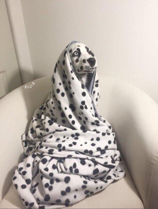 далматинец в пледе
