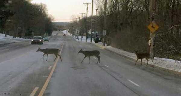 олени переходят дорогу