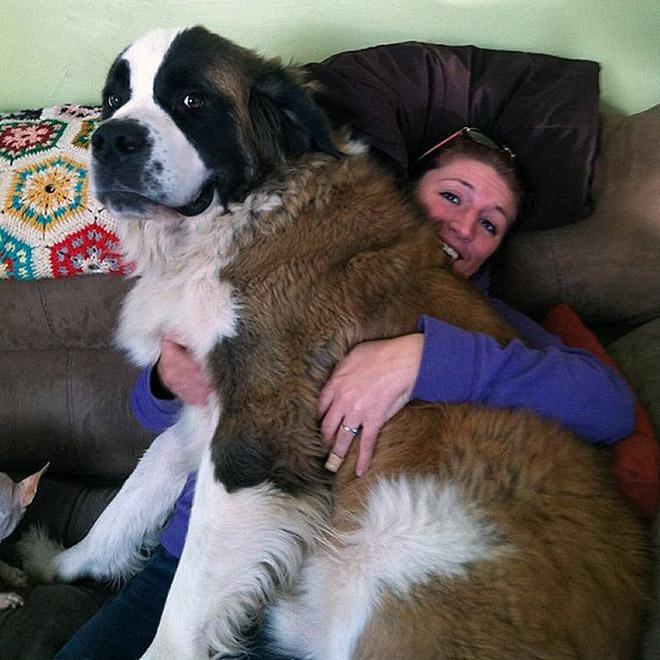 огромная собака сидит на девушке