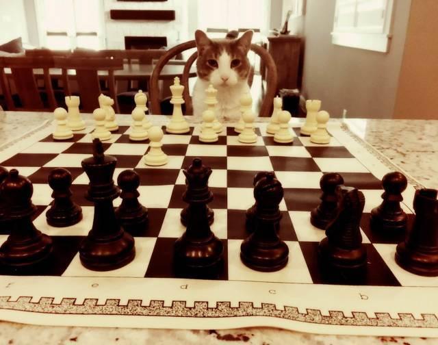 кот за шахматной доской
