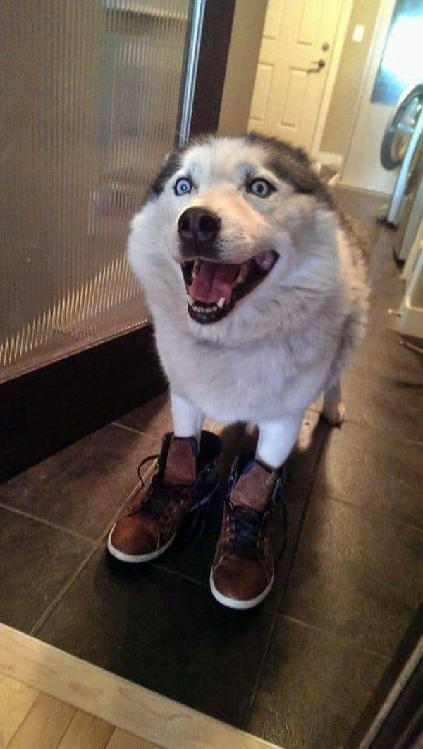 хаски в ботинках