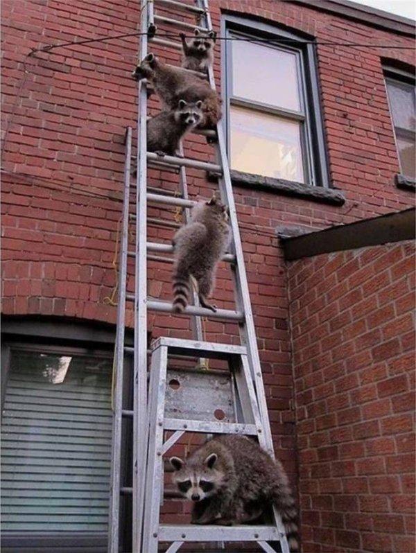 еноты на лестнице