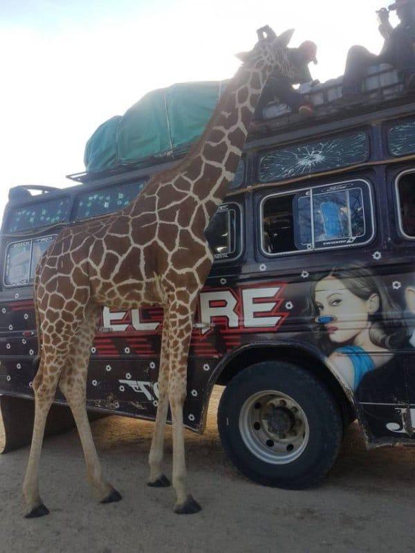 жираф возле машины