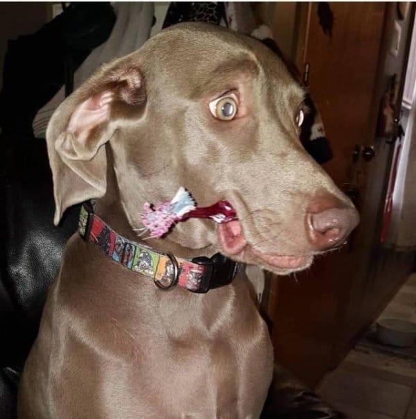 собака с зубной щеткой во рту