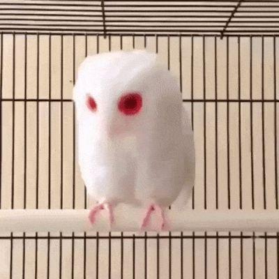 белая сова альбинос