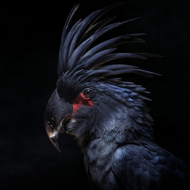 черный попугай