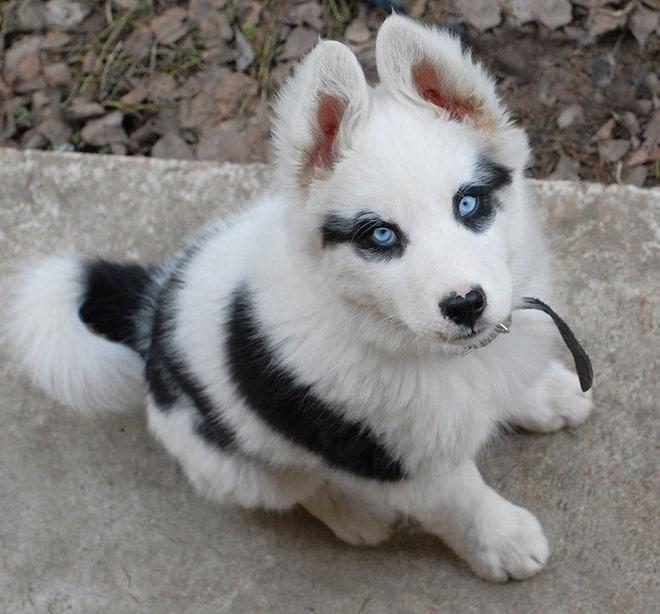 пес с голубыми глазами