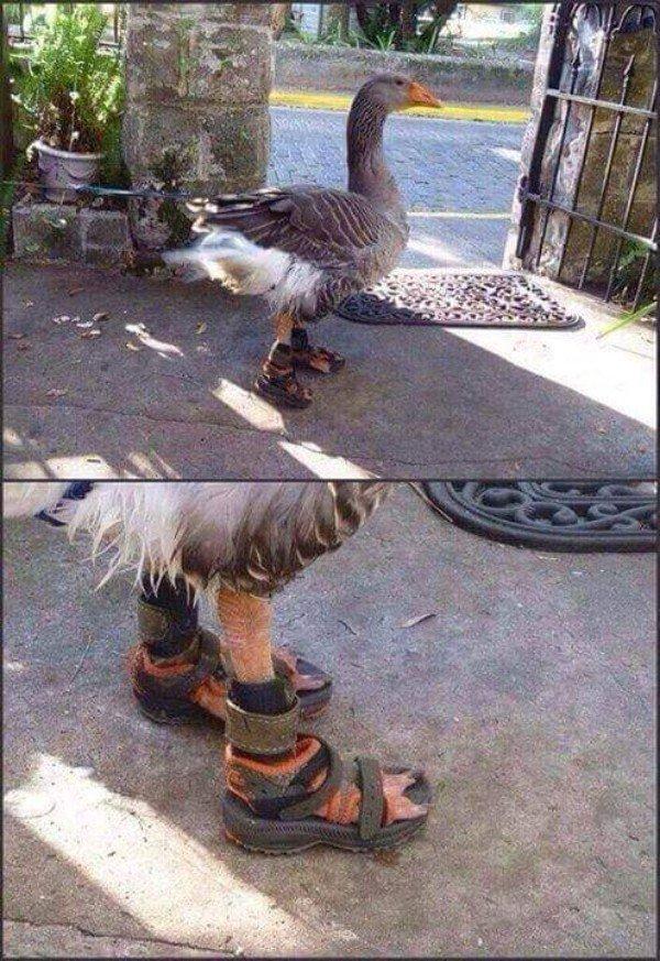 обувь для гуся