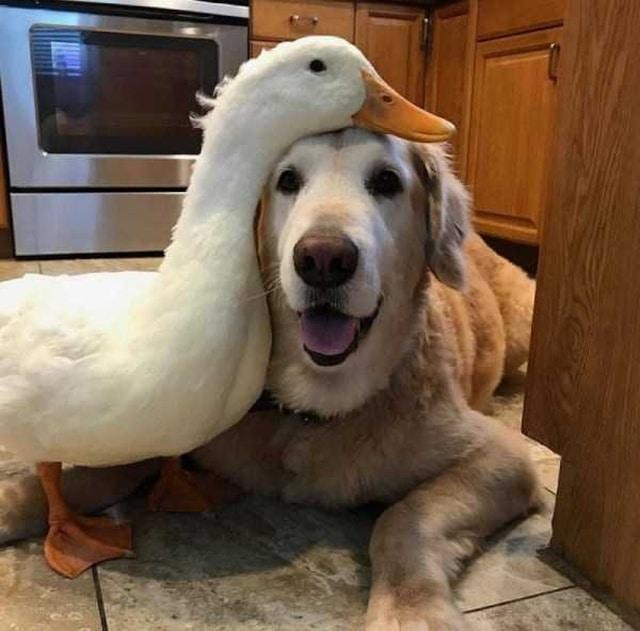 утка и собака