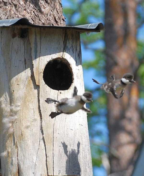 птенцы вылетели из гнезда
