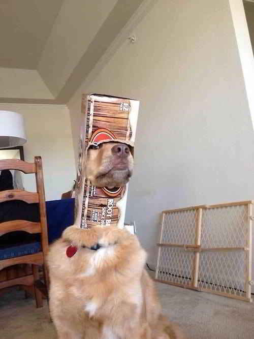 собака с коробкой на голове