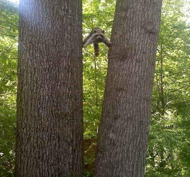 енот между деревьями