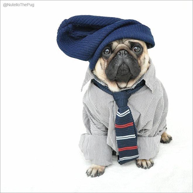 мопс в шапке и рубашке