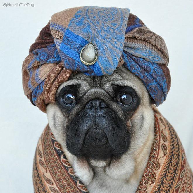 мопс в арабской одежде