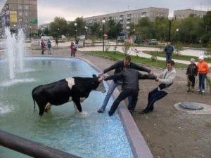 мужчины тянут корову за рога