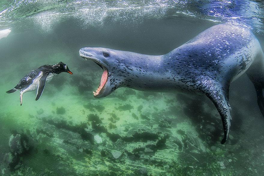 морской лев разинул пасть на пингвина