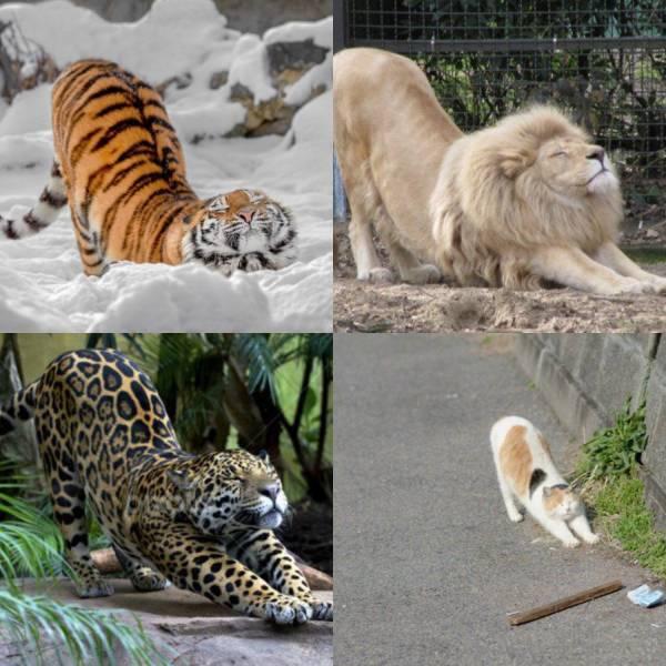 тигр, лев, леопард и кот