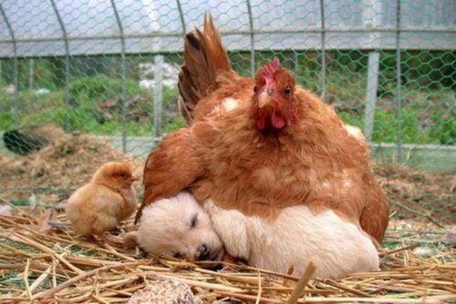 курица и щенок