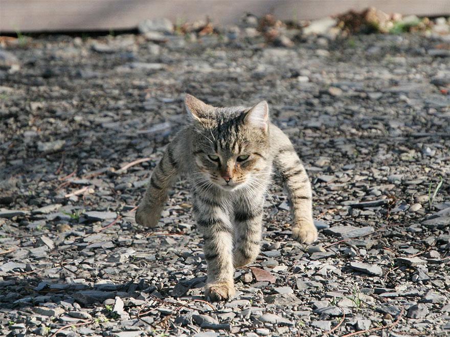 полосатый кот идет на задних лапах