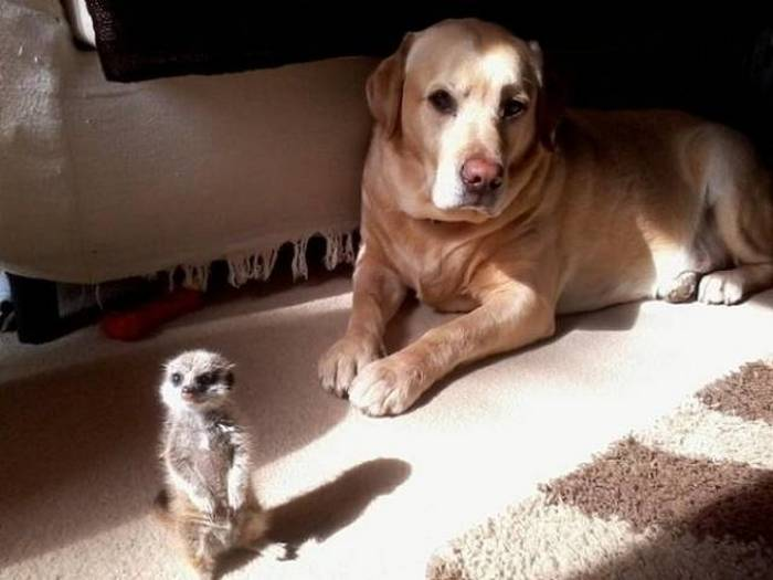 дружба собаки и сурикат