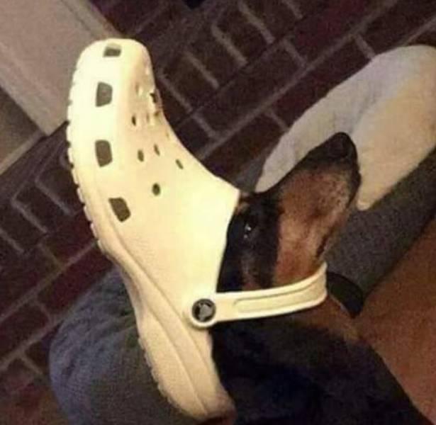 такса с обувью на голове