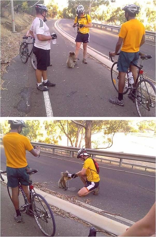 велосипедисты и коала