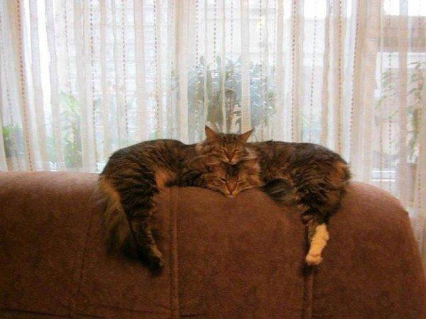 два кота спят на спинке дивана