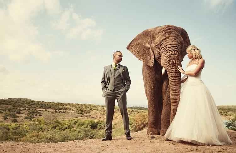 жених слон и невеста
