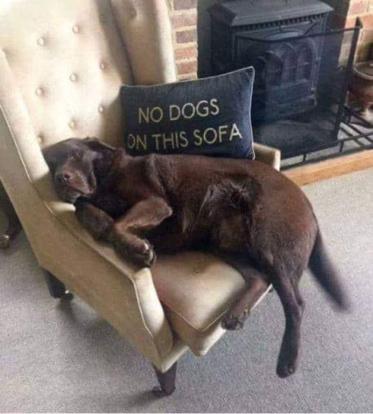 собака лежит на кресле