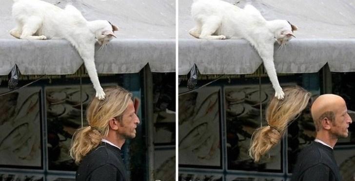белый кот снимает парик с мужчины
