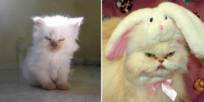 белые пушистые коты