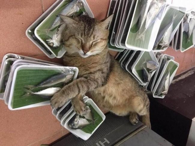 кот спит среди рыбы