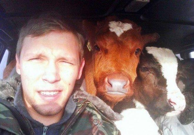 коровы в машине