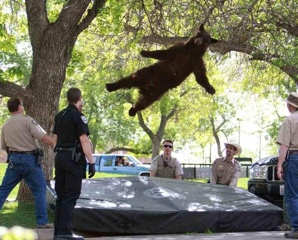медведь прыгает с дерева