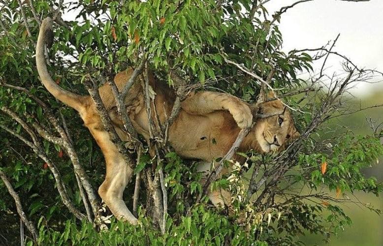 львица застряла в кустах
