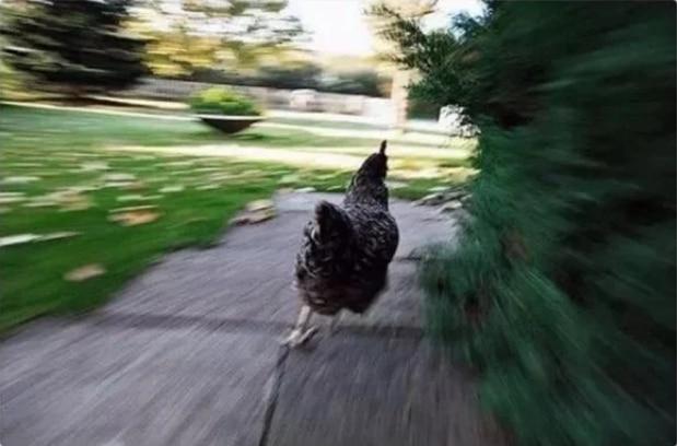 курица бежит по дорожке