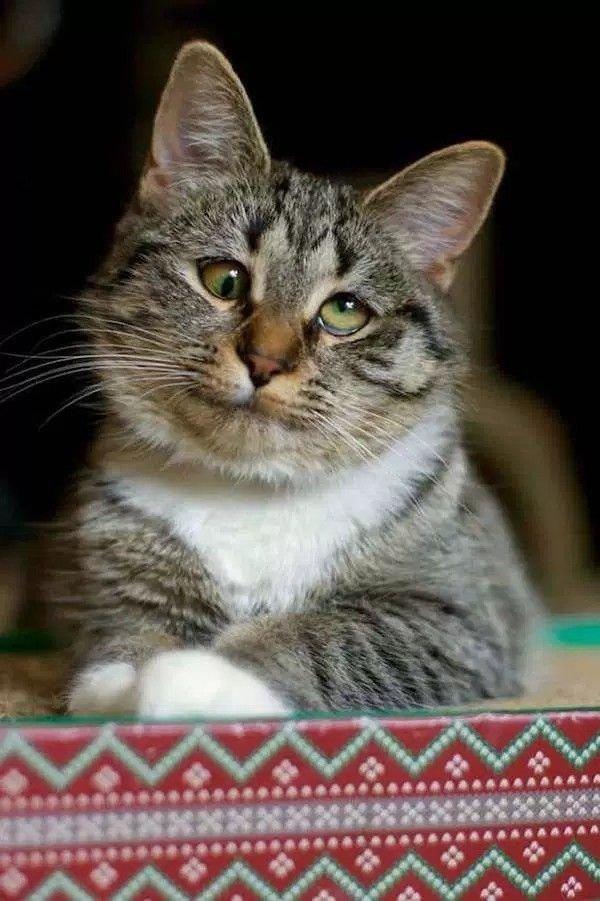 косоглазый кот