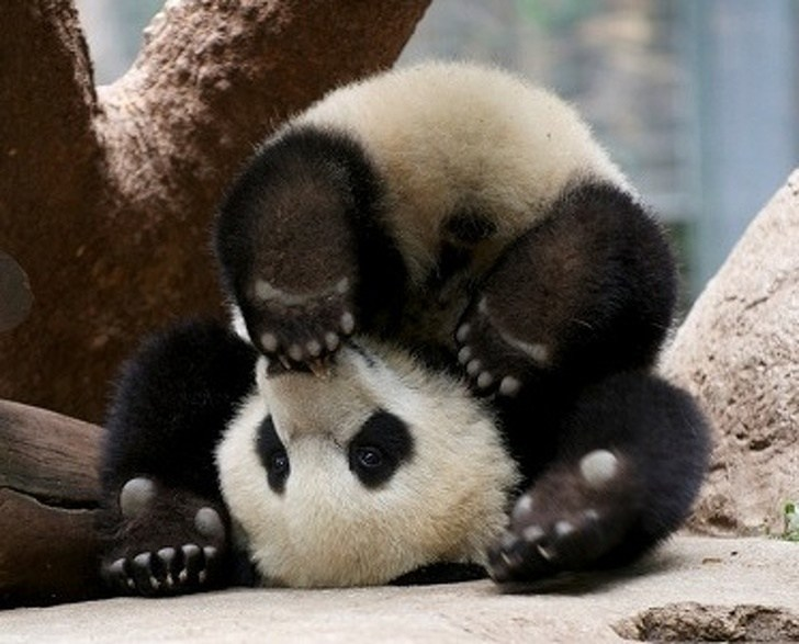 панда лежит вверх ногами