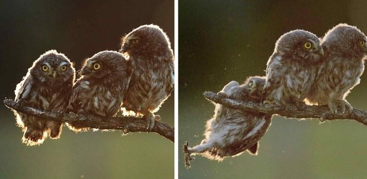 совы сидят на ветке