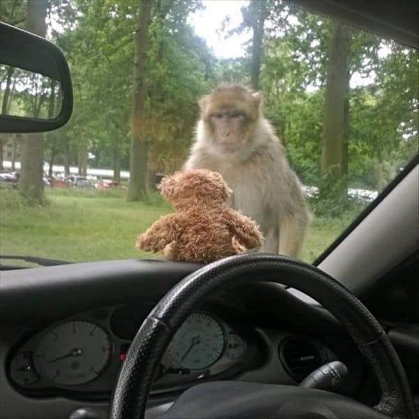 обезьяна смотрит на игрушку в машине