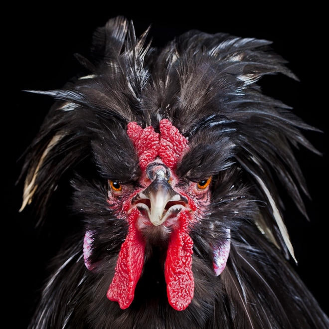 Взъерошенная курица