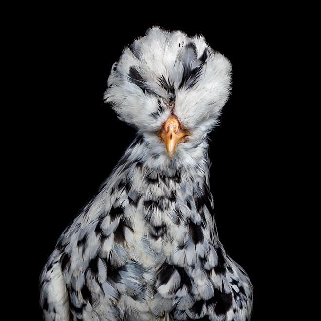 Пятнистая курица