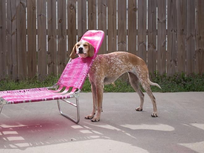 собака застряла головой в шезлонге