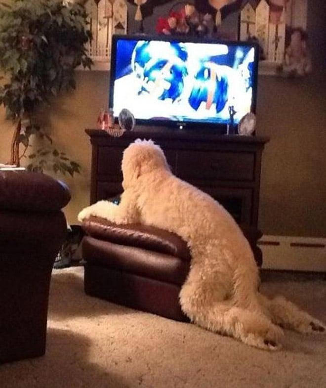 белая собака смотрит телевизор